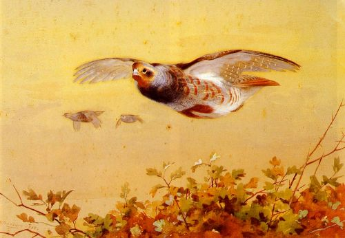 English Partridge In Flight by Archibald Thorburn