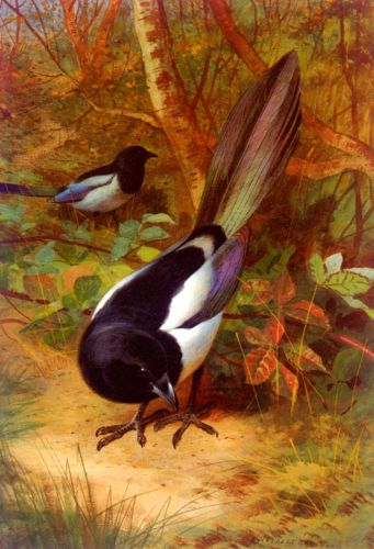 Magpies by Archibald Thorburn